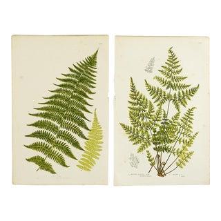 Antique Botanical Ferns Lithograph - A Pair