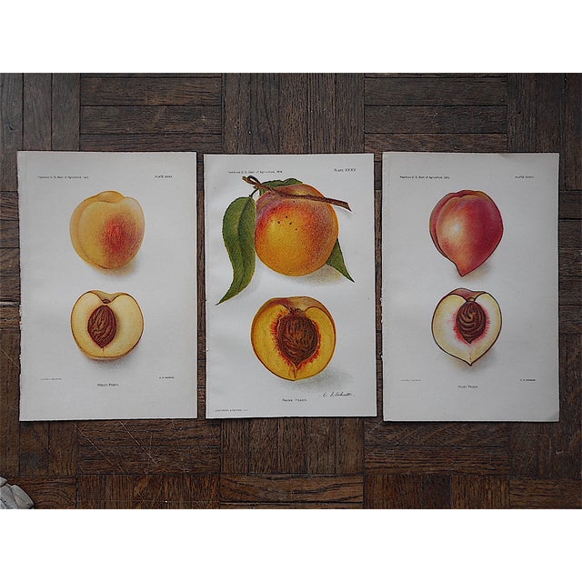 Image of 1900's Antique Peach Lithographs - Set of 3