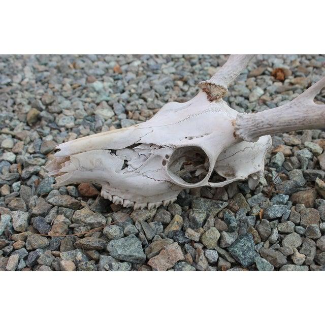 4-Point Deer Skull - Image 3 of 3
