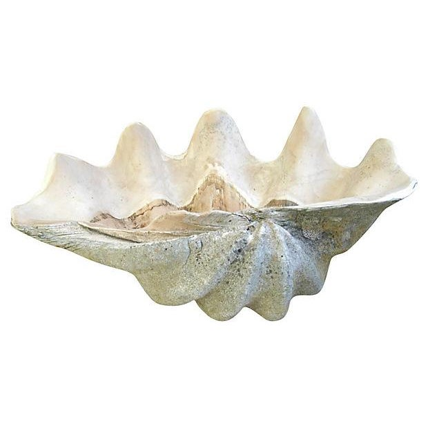Jumbo Large Antique Saltwater Clamshell - Image 6 of 7