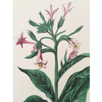 Image of Flowering Tobacco Plant, Botanical Print