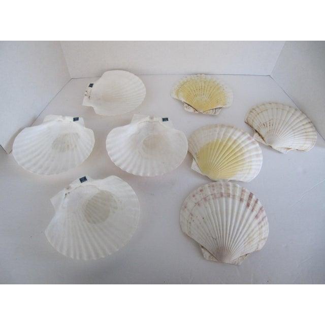 Natural Sea Shells - Set of 8 - Image 4 of 6