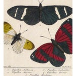 Image of 19th-Century Butterflies Engraving Print