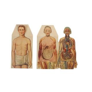 Anatomical Prints of Man & Woman