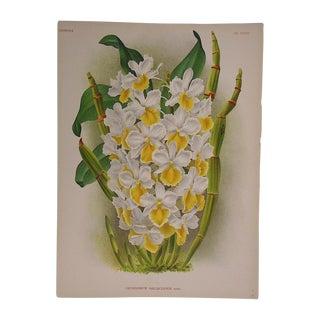 Large Antique Orchid Lithograph