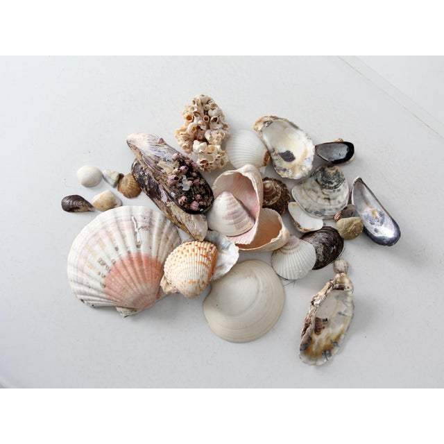 Vintage Sea Shell Collection - Set of 25 - Image 2 of 6