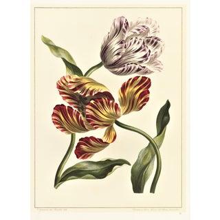 Tulip Botanical Lithograph