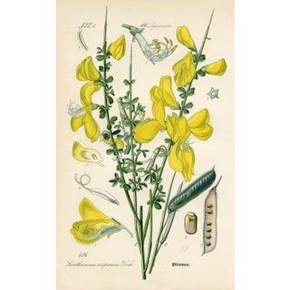 1886 Botanical Print - Scotch Broom