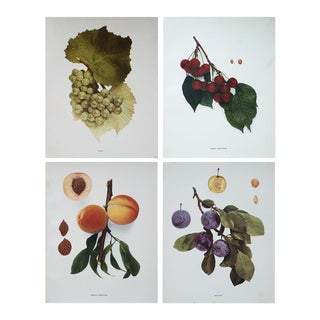Large Antique Fruits Photogravures - Set of 4