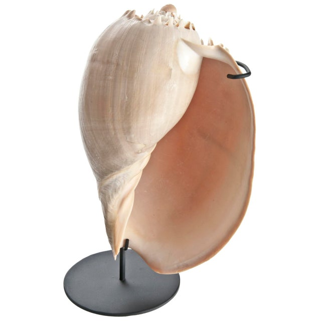Image of Crowned Melo Shell On Recycled Iron Stand