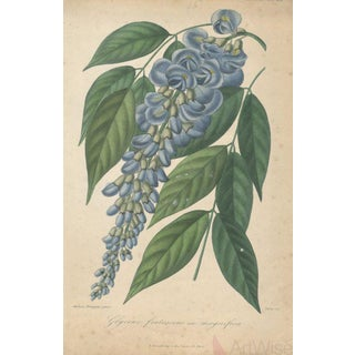 "Francois Herincq ""Glycine Frutescens Var Magnifica"" 1855 Lithograph"