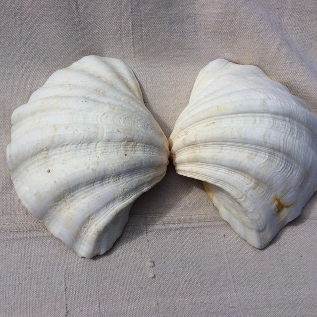 Two Large White Sea Shells - Image 4 of 8