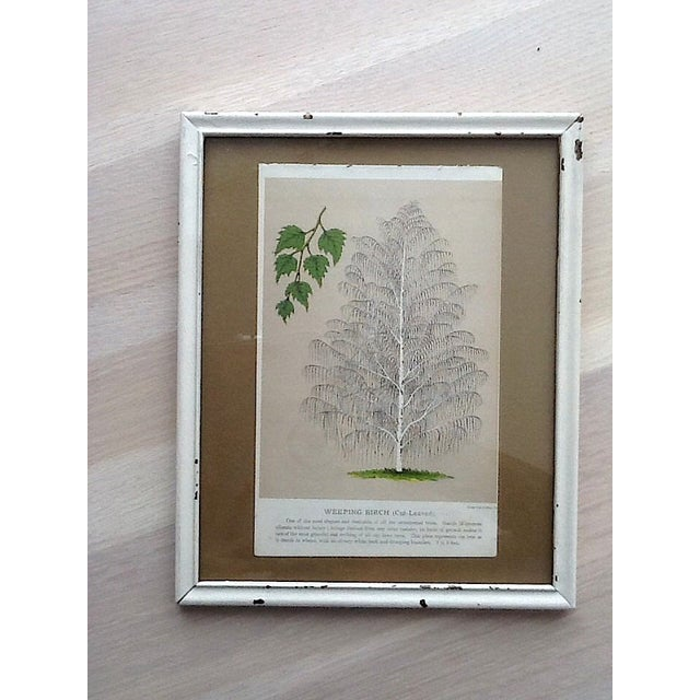 Image of Vintage Birch Tree Chromolithograph