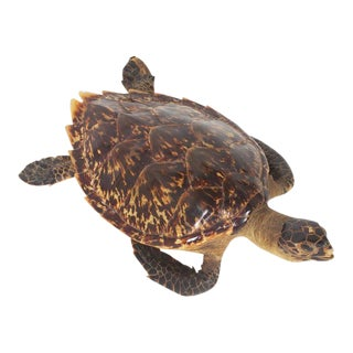 Antique Taxidermy Turtle