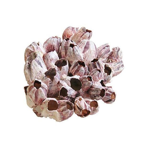 Large Natural Barnacle Cluster Specimen - Image 4 of 5