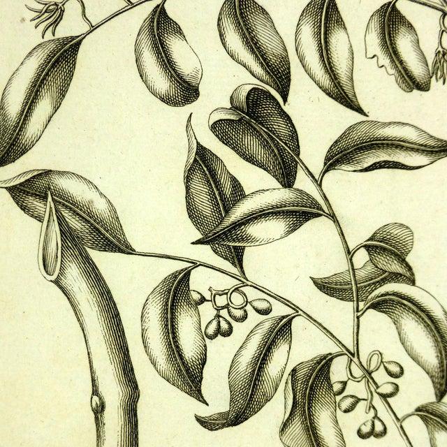 Antique Botanical Engraving, 1773 - Image 2 of 3