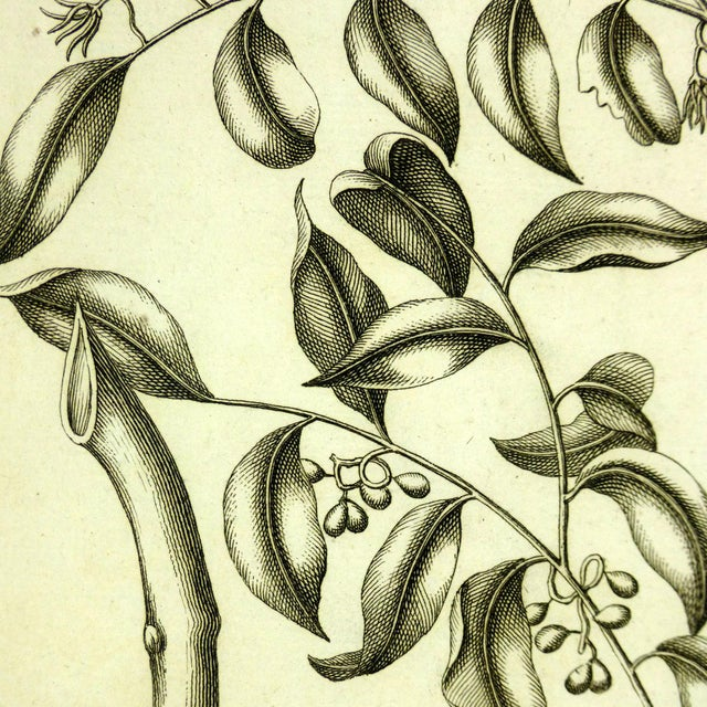 Image of Antique Botanical Engraving, 1773