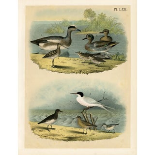 North American Shorebird Print 1878
