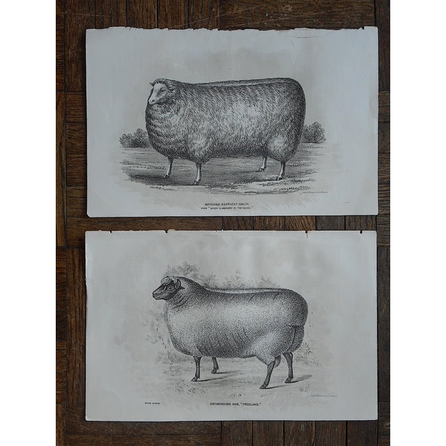 Image of Antique Sheep Lithographs - A Pair