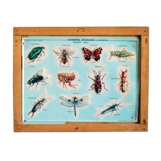Vintage Italian Scientific School Chart - Insects