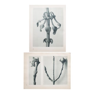 Karl Blossfeldt Double Sided Photogravure N21-22