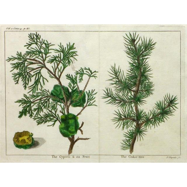 Image of Antique Botanical Print Trees Engraving, C. 1780