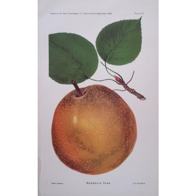 Antique 1893 Magnolia Pear Lithograph - Image 1 of 3