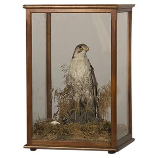 Avian (Bird of Prey) Specimen, England c. 1870, Original Mahogany and Glass Enclosure