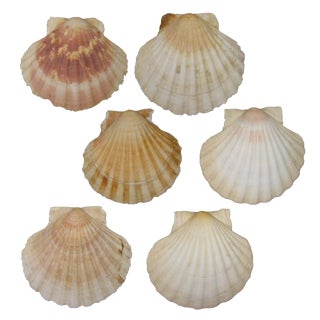French Mediterranean Scallop Shells - Set of 6