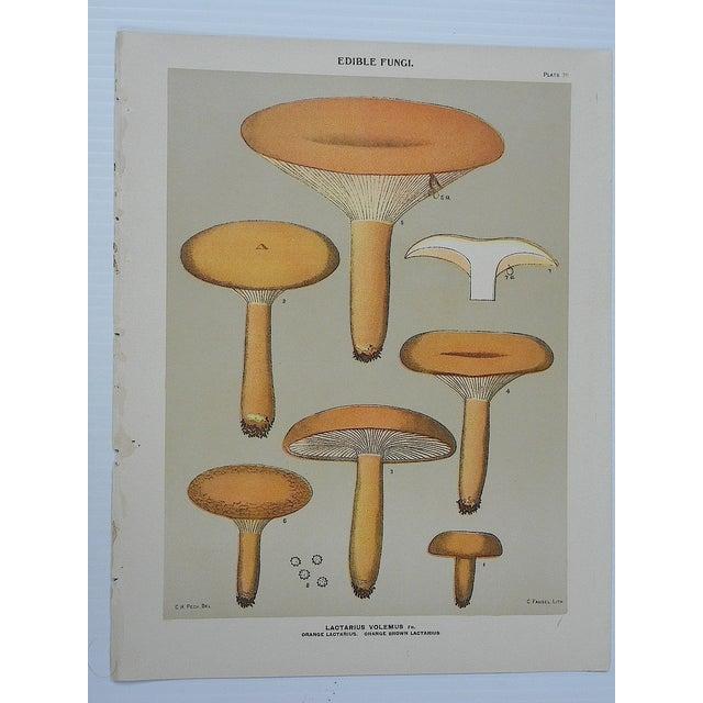 Antique Mushroom Lithograph Prints- Set of 3 - Image 3 of 5