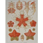 Image of Sea Creatures Lithograph by Ernst Haeckel