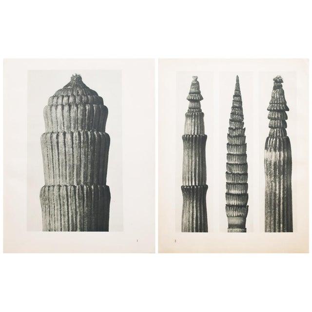 Karl Blossfeldt Two Sided Photogravure N1-2 - Image 9 of 9
