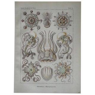 Ernst Haeckel Sea Creatures Lithograph