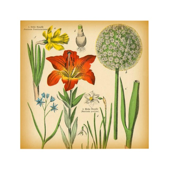 Image of Antique Tiger Lily Botanical Archival Print