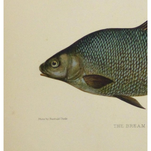 Antique Fish Print, Freshwater Bream, 1904 - Image 2 of 4