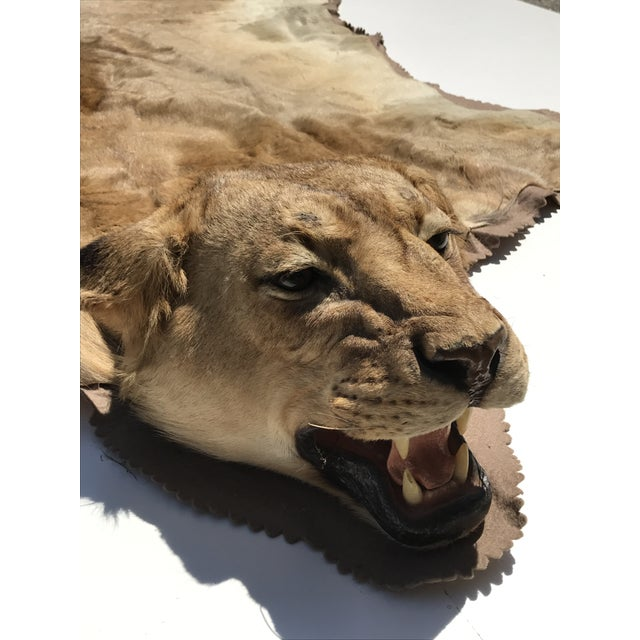 Lion Taxidermy Rug - Image 6 of 10