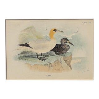 1890 Antique Gannet Chromolithograph