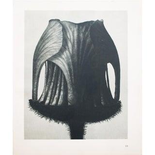 Karl Blossfeldt Double Sided Photogravure N11-12