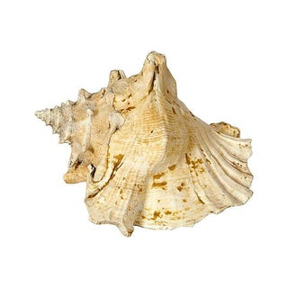 Speckled Conch Shell