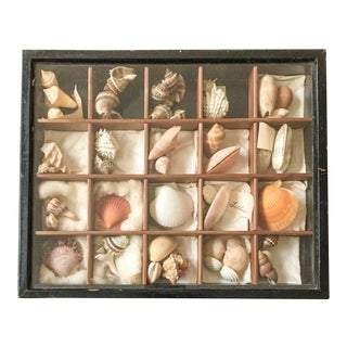 Antique Seashell Collection Shadowbox