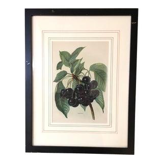 Antique Lithograph Black Cherries - London