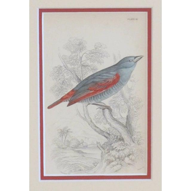 RESERVEDFramed Vintage Bird Print - C.1850/Redwing - Image 2 of 2