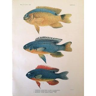Antique Tropical Fish Lithograph 1905