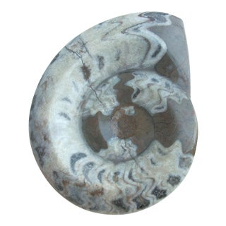 Natural Mounted Ammonite Fossil