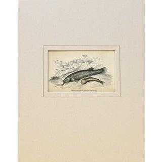 Antique 1843 Naturalist Catfish Engraving