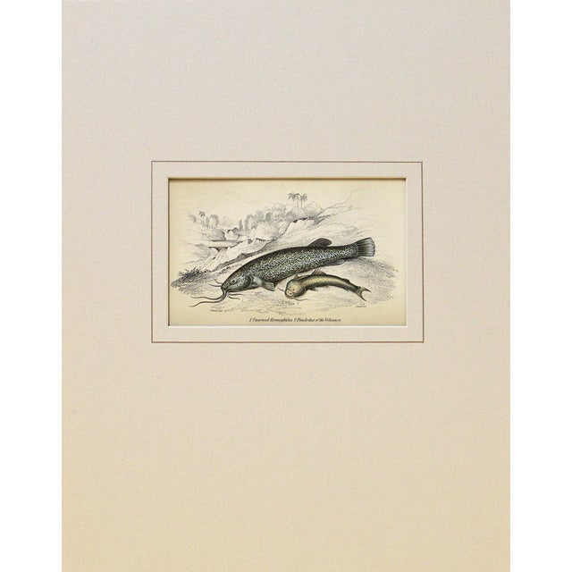 Antique 1843 Naturalist Catfish Engraving - Image 1 of 2