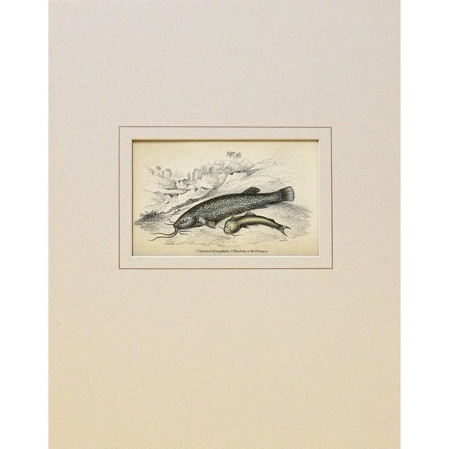 Image of Antique 1843 Naturalist Catfish Engraving