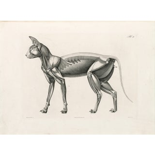 Anatomy of a Cat - Print of Illustration, 1800s