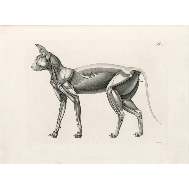 Anatomy of a Cat - Print of Illustration, 1800s - Image 1 of 5