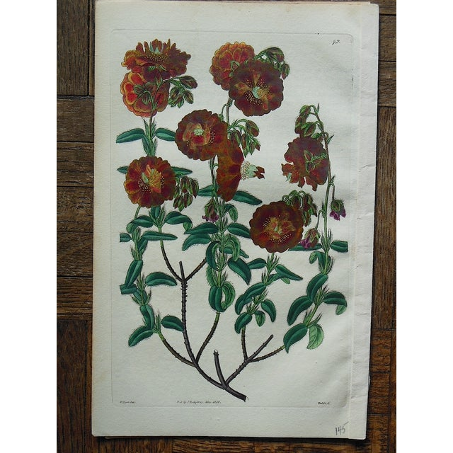 Image of Antique Botanical Engravings- A Pair